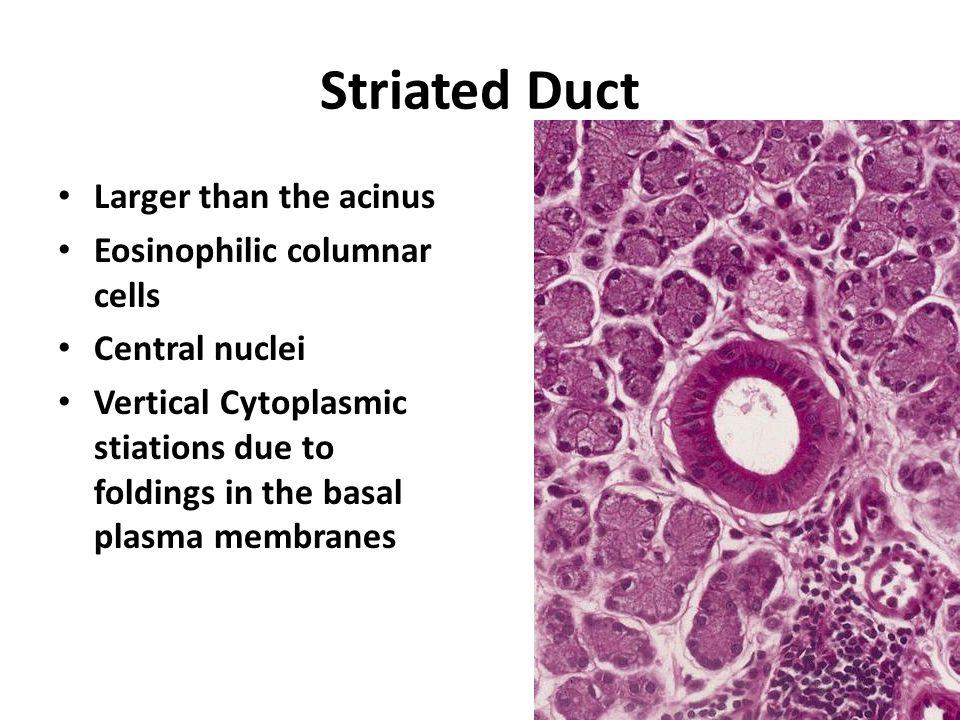 Striated Duct Larger than the acinus Eosinophilic columnar cells