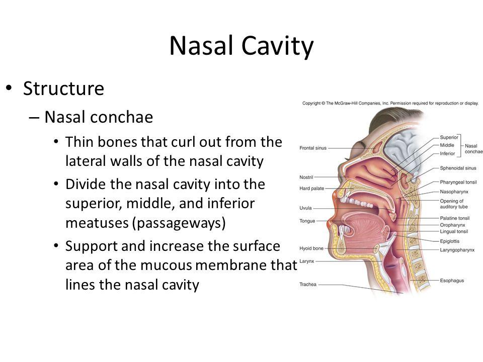 Nasal Cavity Structure Nasal conchae