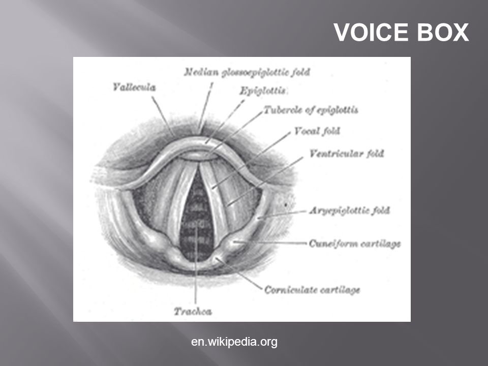 VOICE BOX en.wikipedia.org