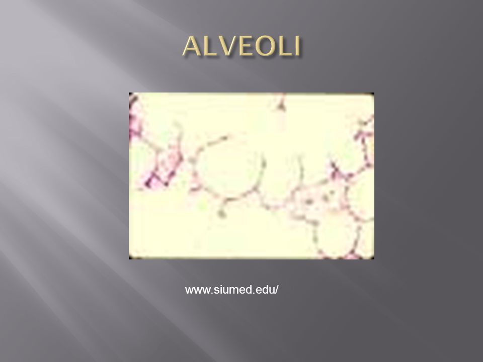 ALVEOLI www.siumed.edu/
