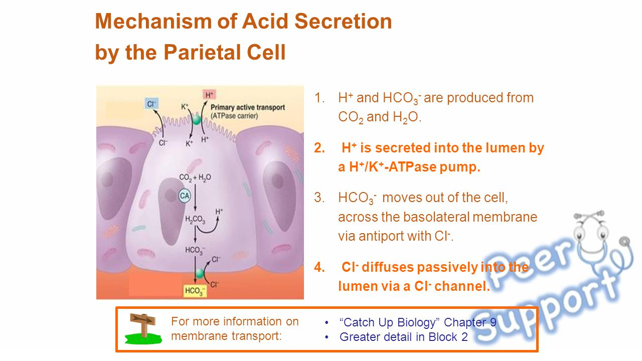 Mechanism of Acid Secretion by the Parietal Cell