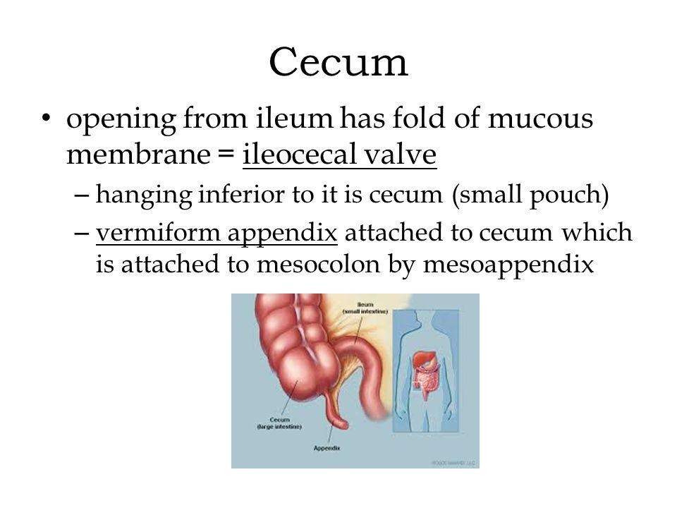 Cecum opening from ileum has fold of mucous membrane = ileocecal valve