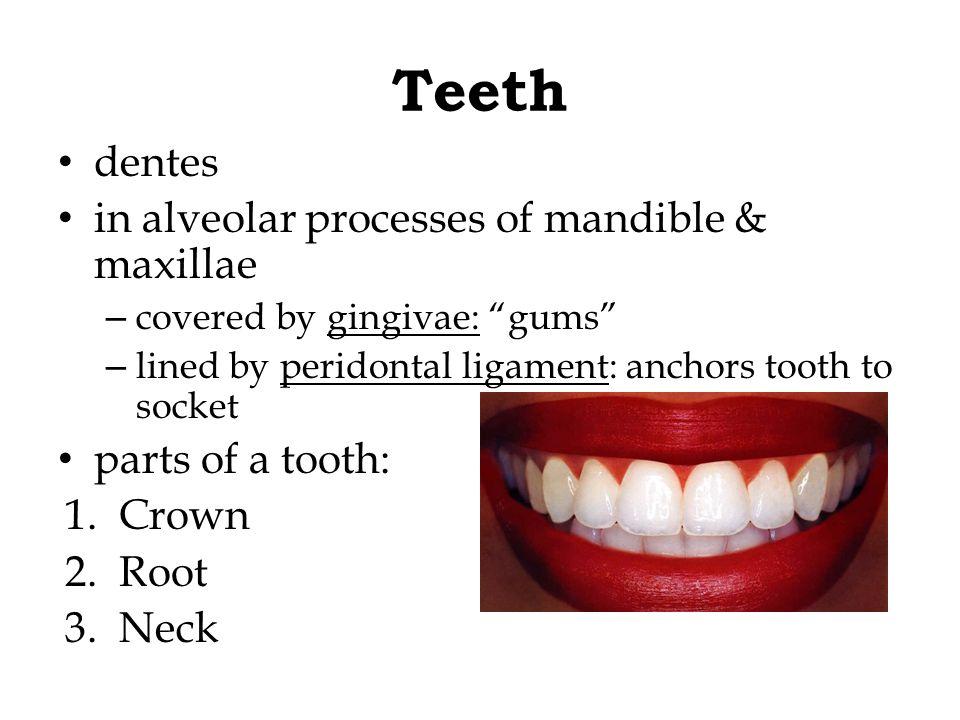 Teeth dentes in alveolar processes of mandible & maxillae