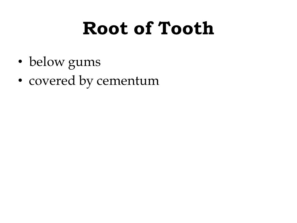 Root of Tooth below gums covered by cementum