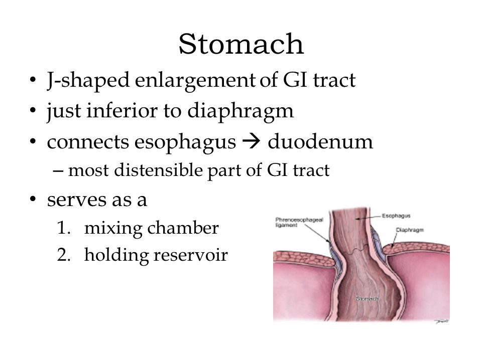 Stomach J-shaped enlargement of GI tract just inferior to diaphragm