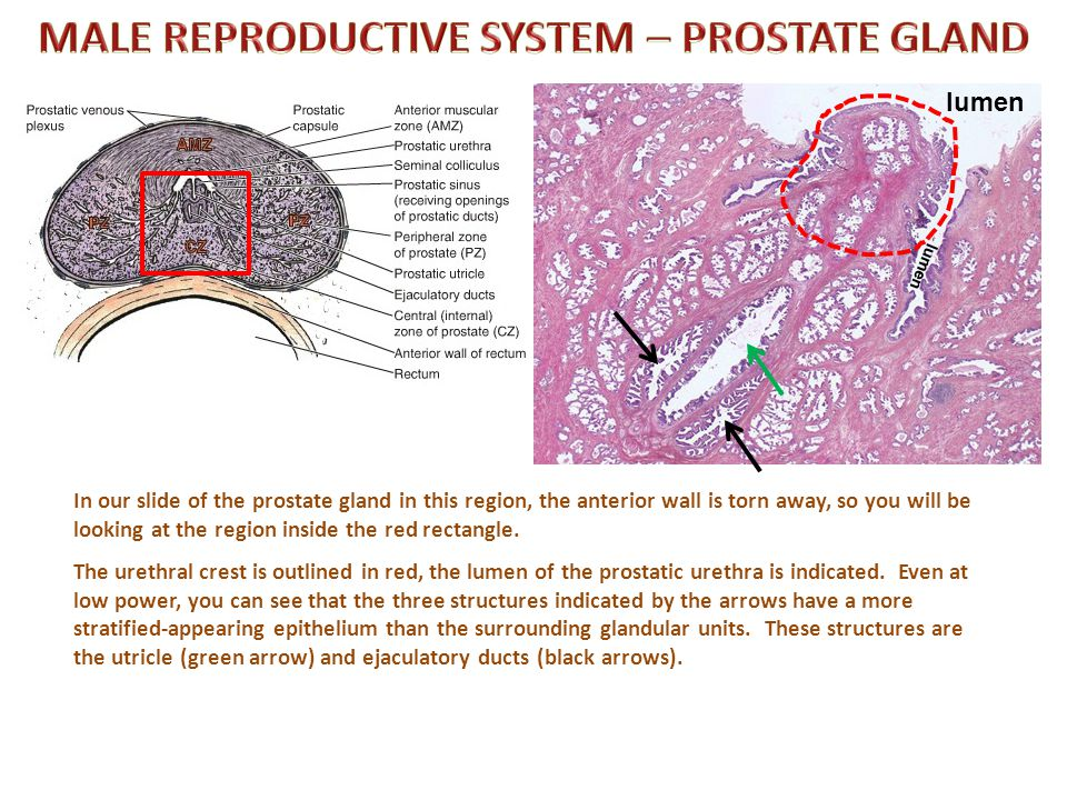 Male anatomy prostate gland