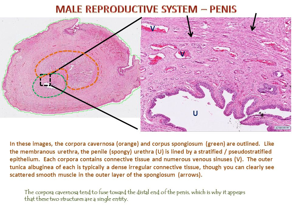 MALE REPRODUCTIVE SYSTEM – PENIS