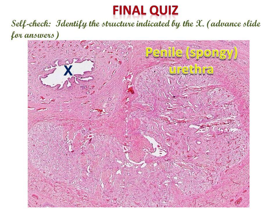 Penile (spongy) urethra