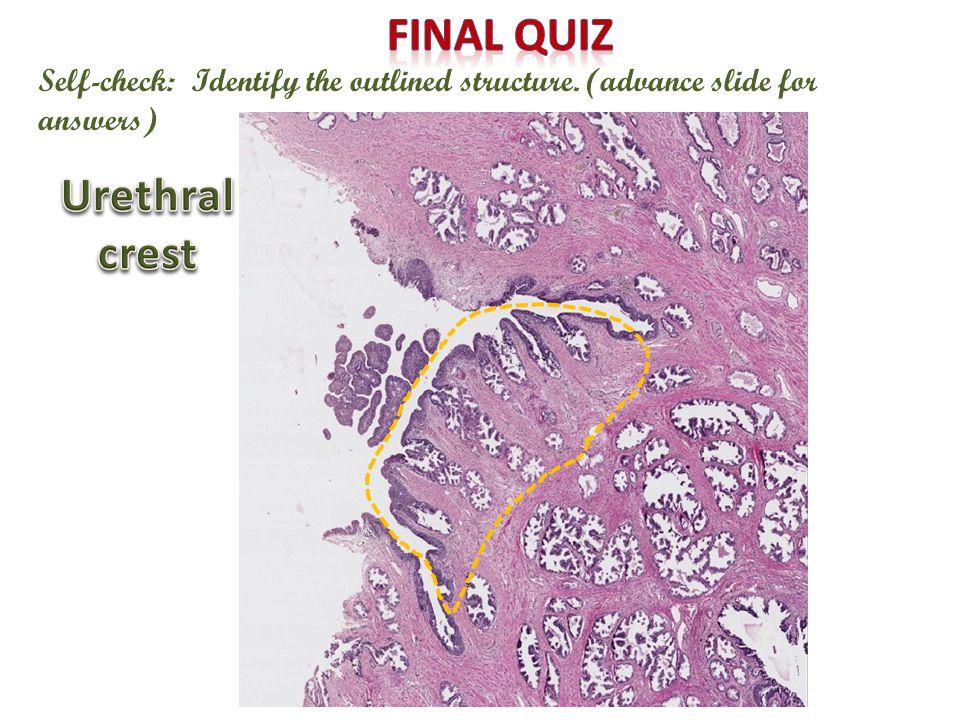 X Final quiz Urethral crest