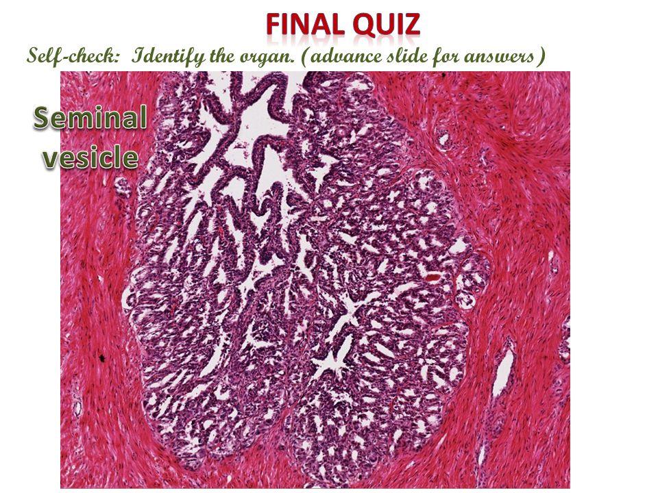 Final quiz Seminal vesicle
