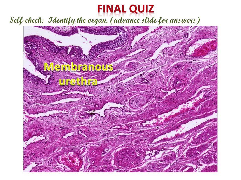 Final quiz Membranous urethra