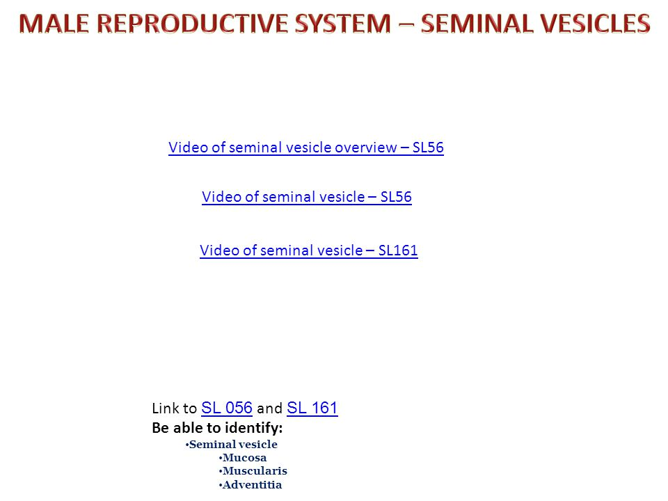 MALE REPRODUCTIVE SYSTEM – SEMINAL VESICLES