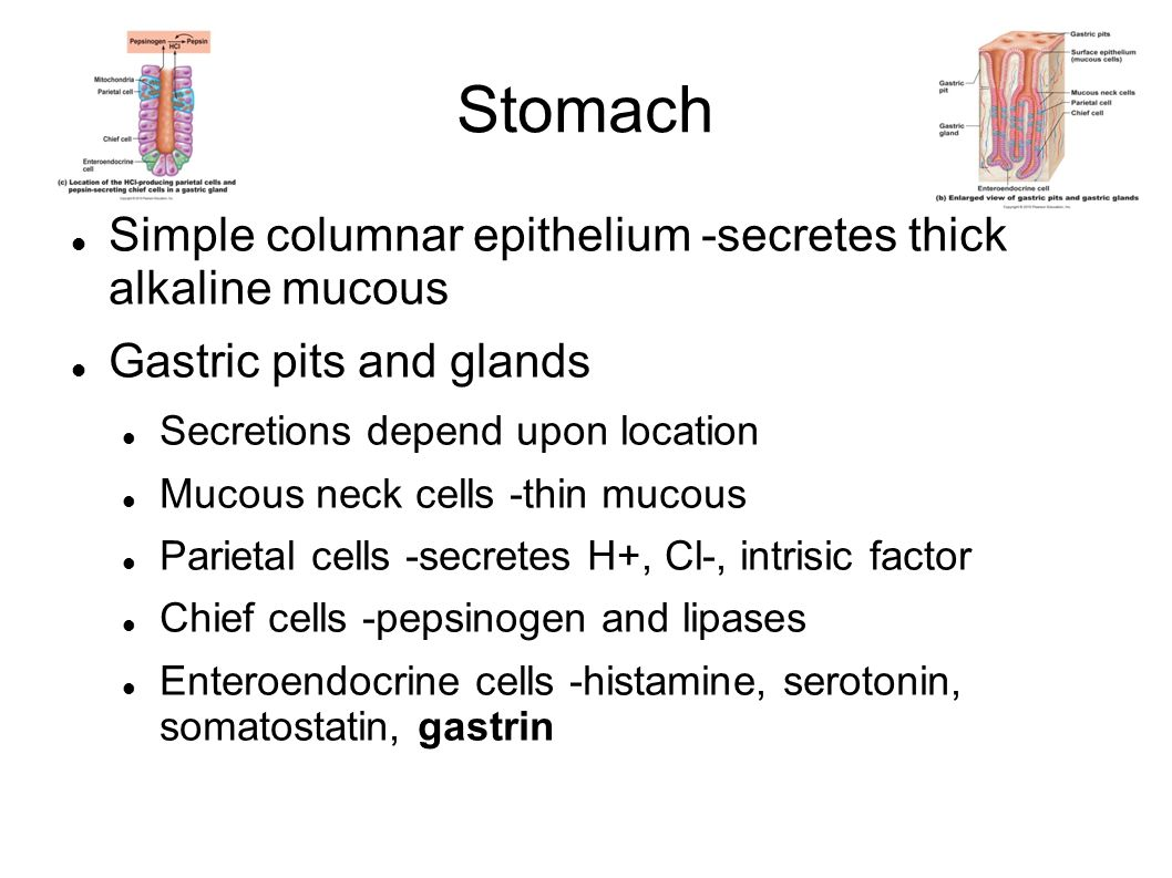 Stomach Simple columnar epithelium -secretes thick alkaline mucous