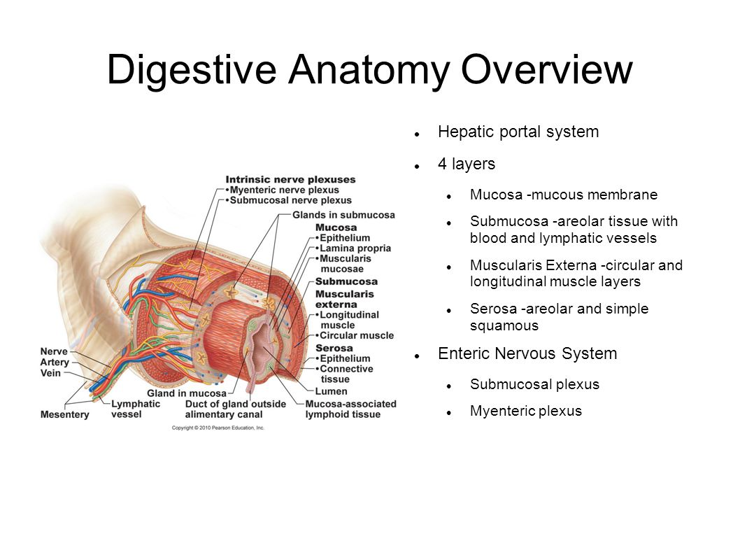 Digestive Anatomy Overview