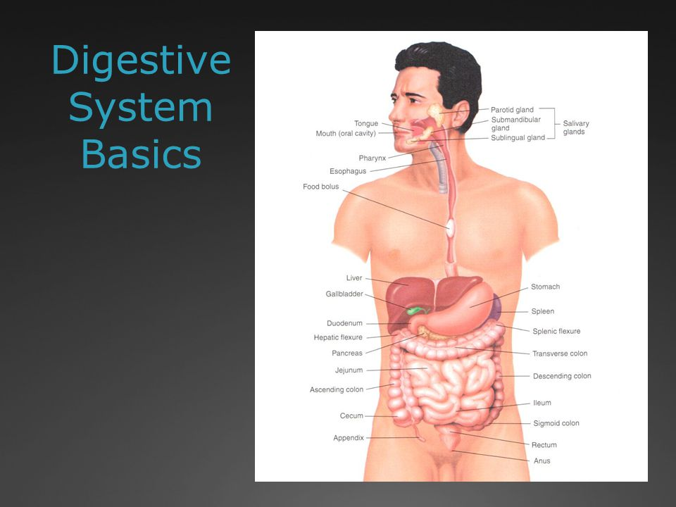 Digestive System Basics