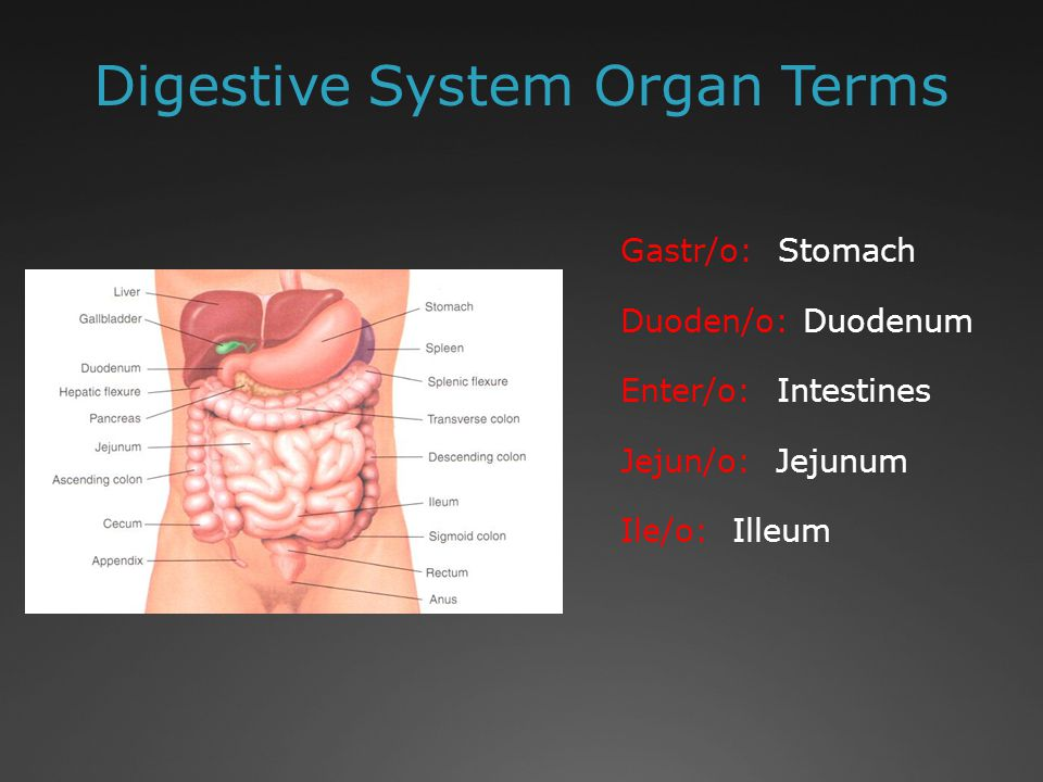Digestive System Organ Terms