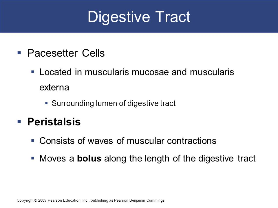 Digestive Tract Pacesetter Cells Peristalsis