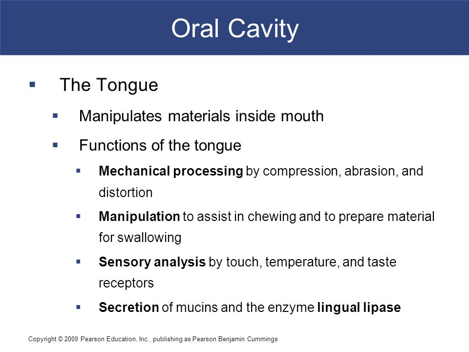 Oral Cavity The Tongue Manipulates materials inside mouth