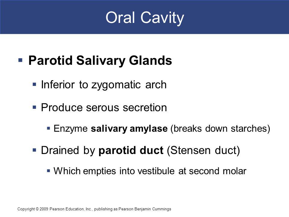 Oral Cavity Parotid Salivary Glands Inferior to zygomatic arch