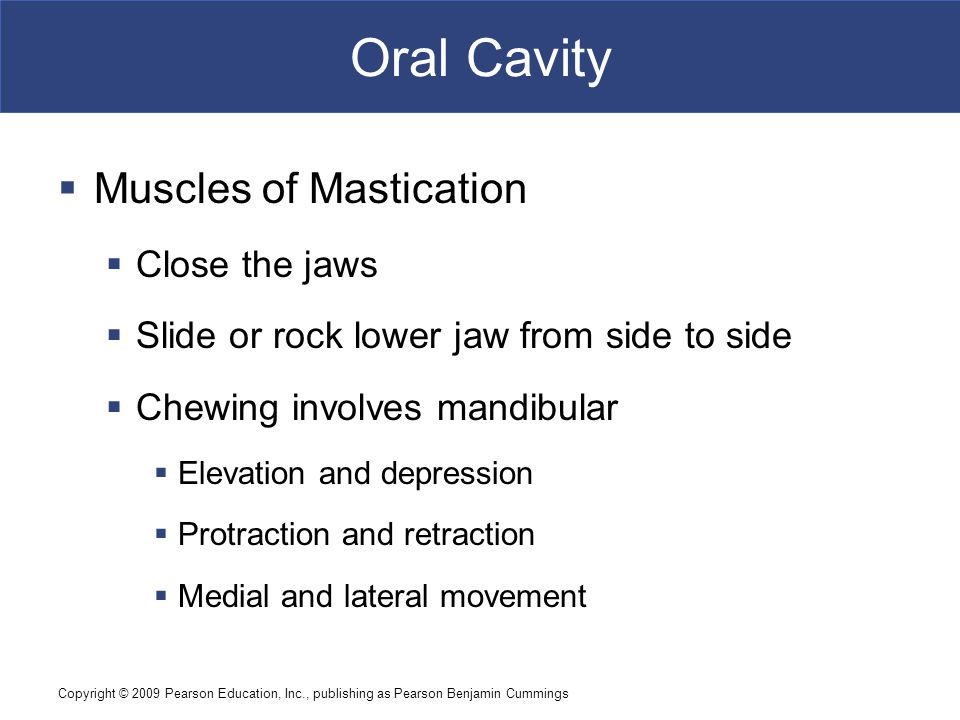 Oral Cavity Muscles of Mastication Close the jaws