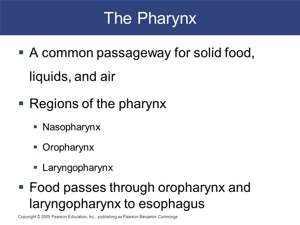 The Pharynx A common passageway for solid food, liquids, and air