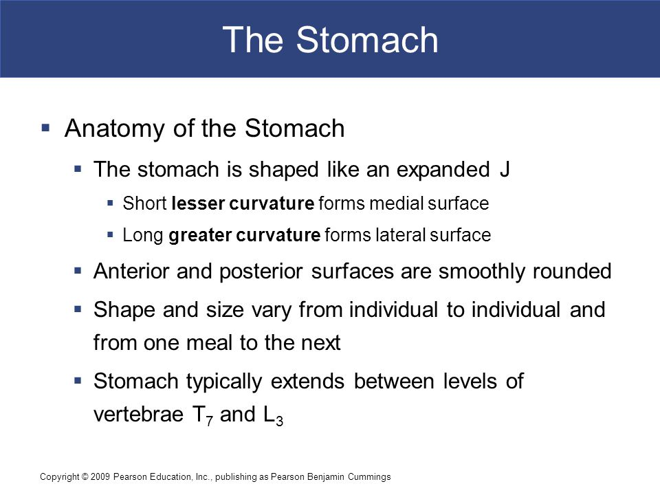 The Stomach Anatomy of the Stomach