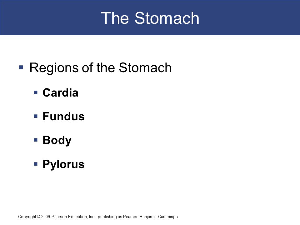 The Stomach Regions of the Stomach Cardia Fundus Body Pylorus
