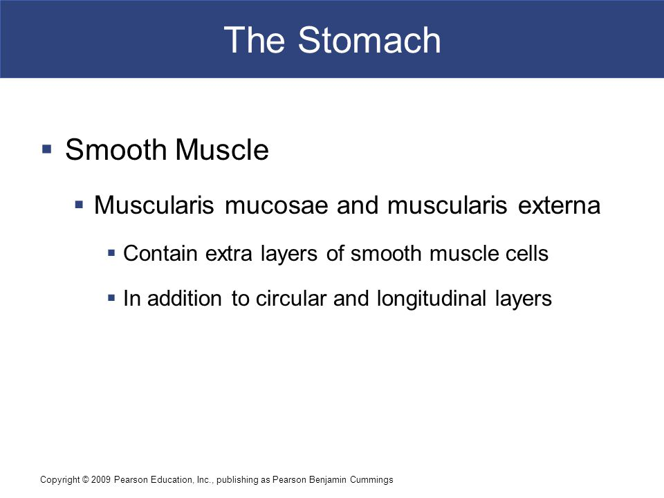 The Stomach Smooth Muscle Muscularis mucosae and muscularis externa