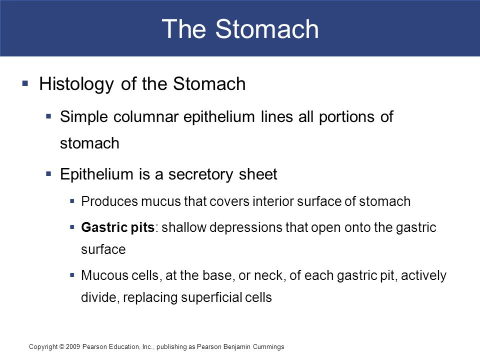 The Stomach Histology of the Stomach
