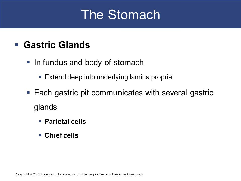 The Stomach Gastric Glands In fundus and body of stomach