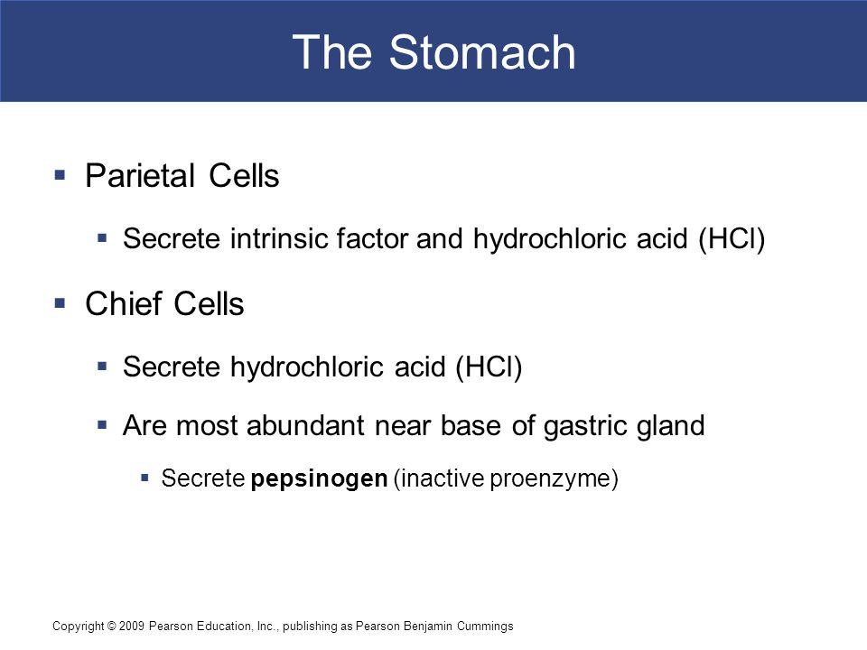The Stomach Parietal Cells Chief Cells