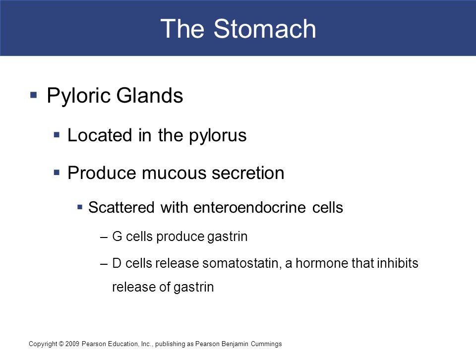 The Stomach Pyloric Glands Located in the pylorus
