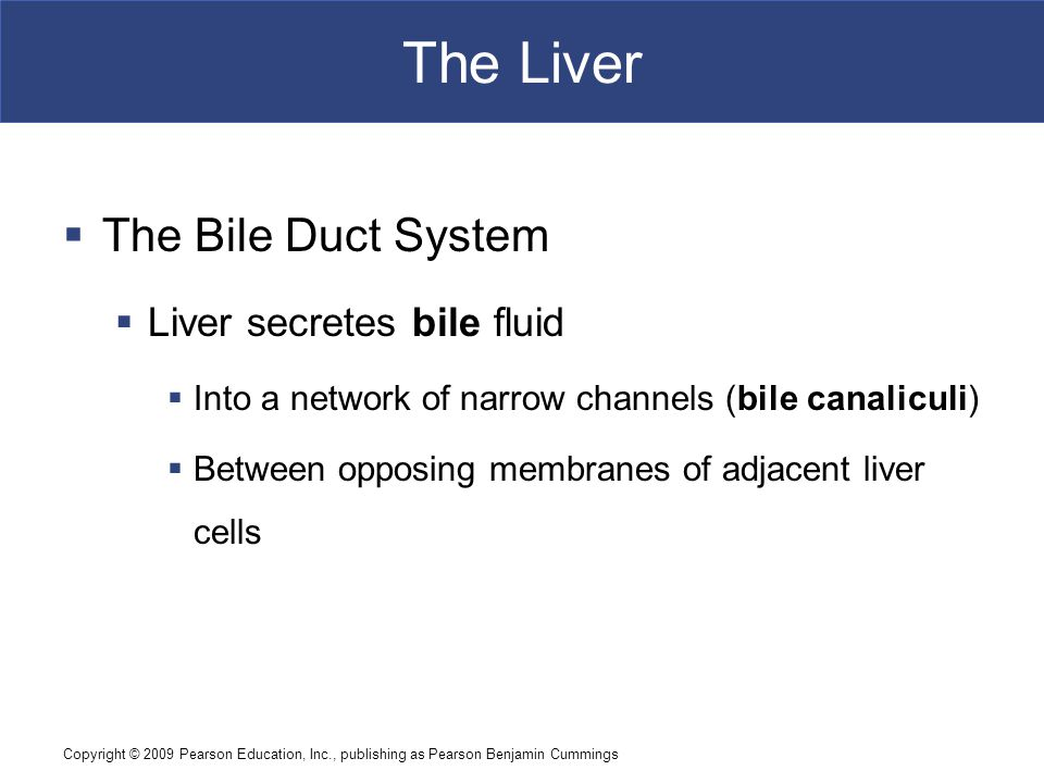 The Liver The Bile Duct System Liver secretes bile fluid