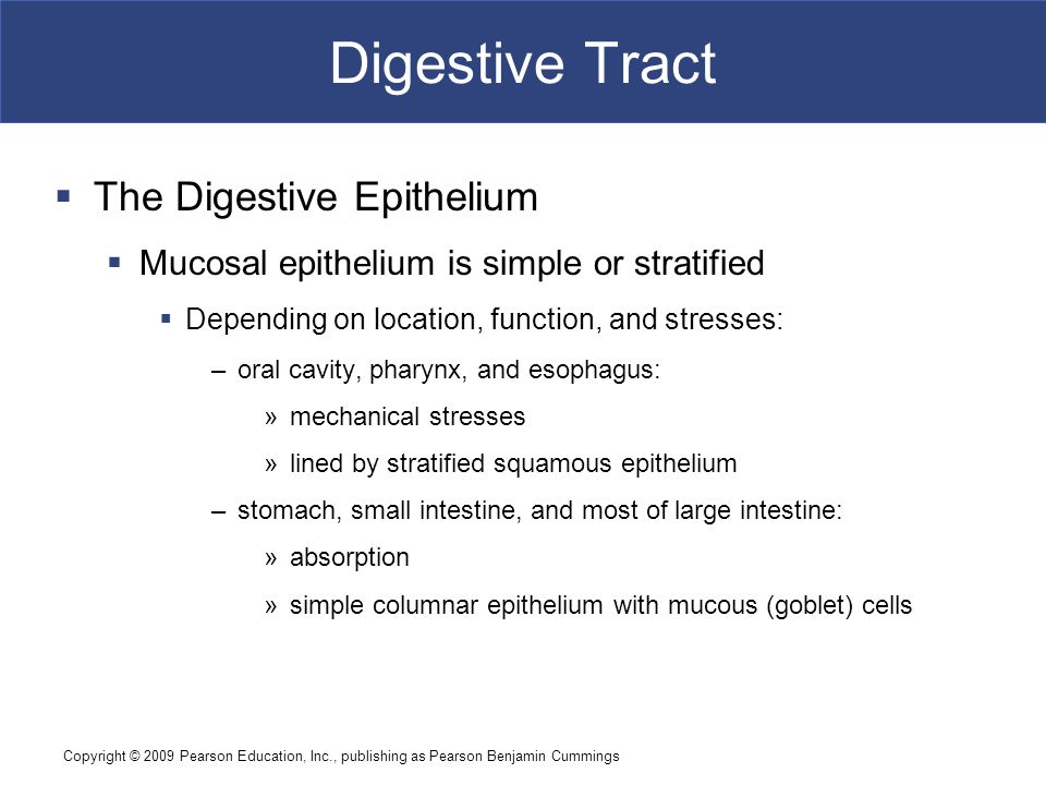 Digestive Tract The Digestive Epithelium