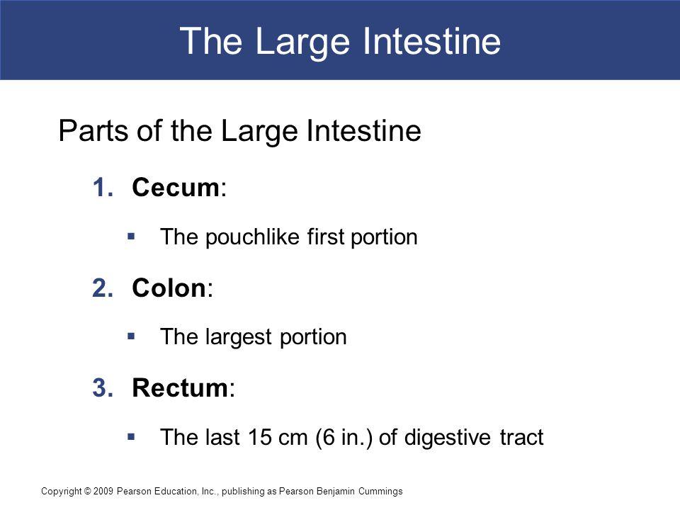 The Large Intestine Parts of the Large Intestine Cecum: Colon: Rectum: