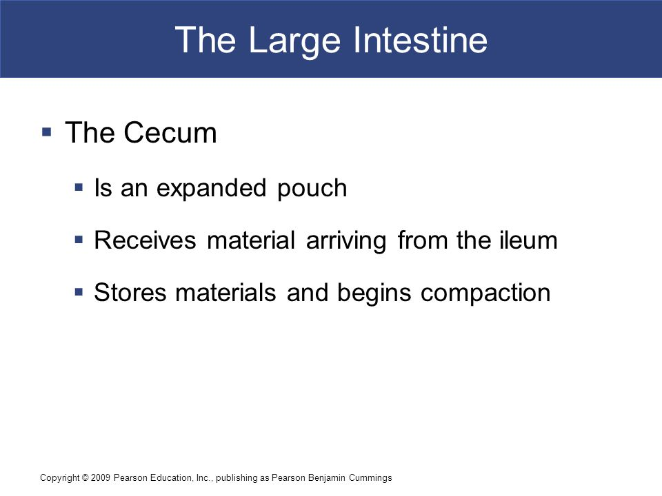 The Large Intestine The Cecum Is an expanded pouch