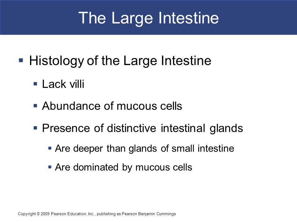 The Large Intestine Histology of the Large Intestine Lack villi