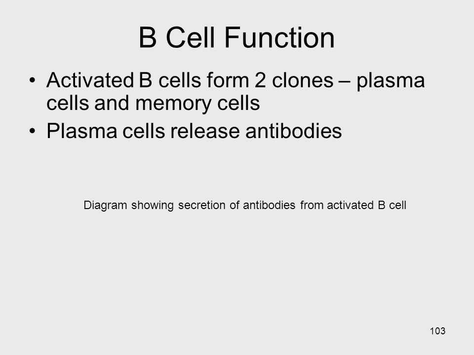 Diagram showing secretion of antibodies from activated B cell