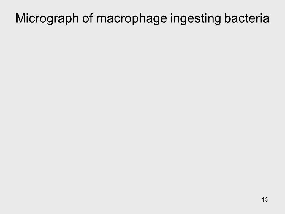 Micrograph of macrophage ingesting bacteria