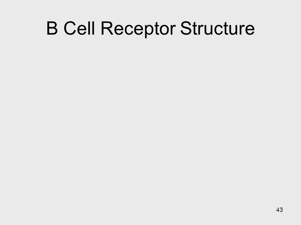 B Cell Receptor Structure