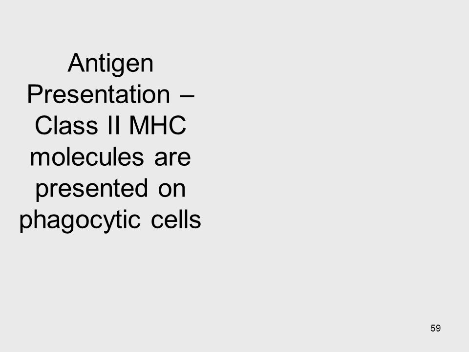 Antigen Presentation – Class II MHC molecules are presented on phagocytic cells