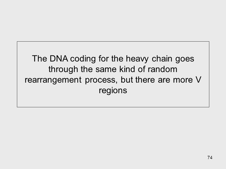 The DNA coding for the heavy chain goes through the same kind of random rearrangement process, but there are more V regions