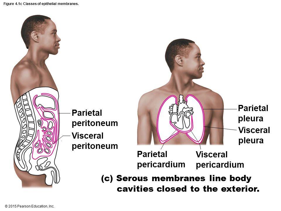 Figure 4.1c Classes of epithelial membranes.