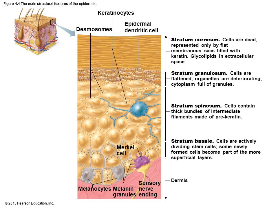 Figure 4.4 The main structural features of the epidermis.