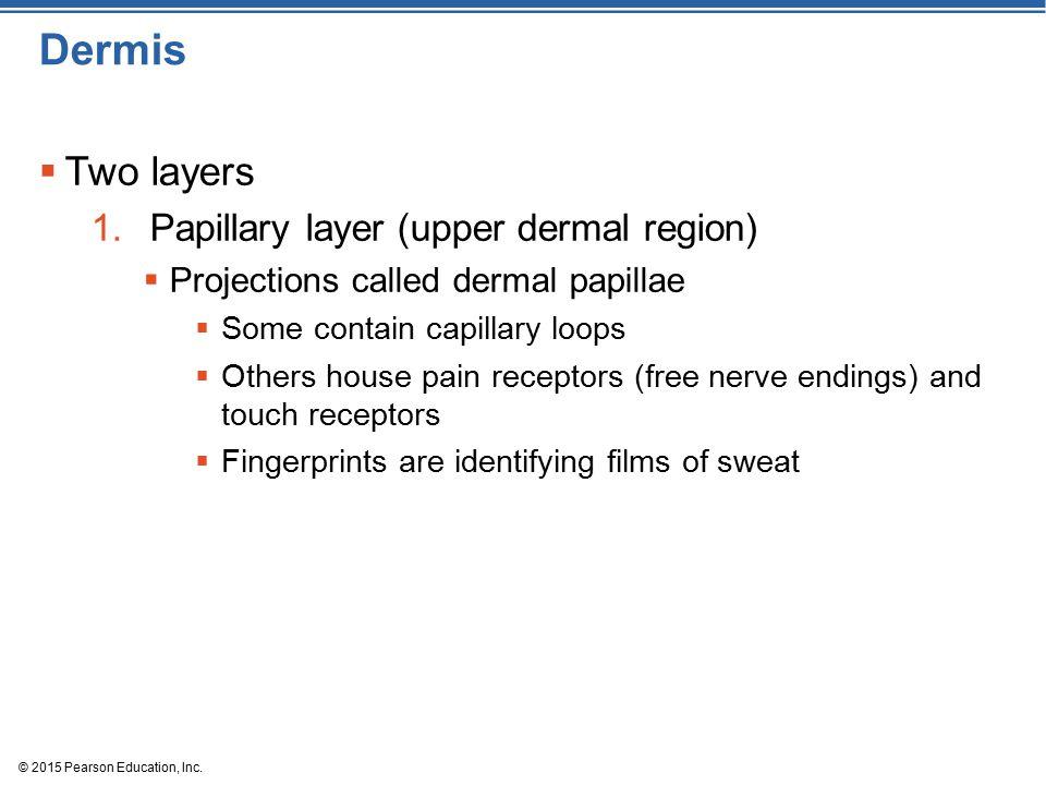 Dermis Two layers Papillary layer (upper dermal region)