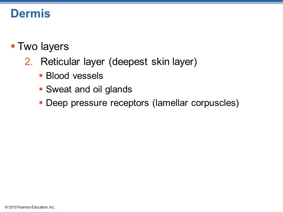 Dermis Two layers Reticular layer (deepest skin layer) Blood vessels