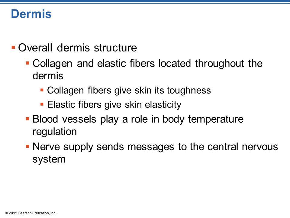 Dermis Overall dermis structure