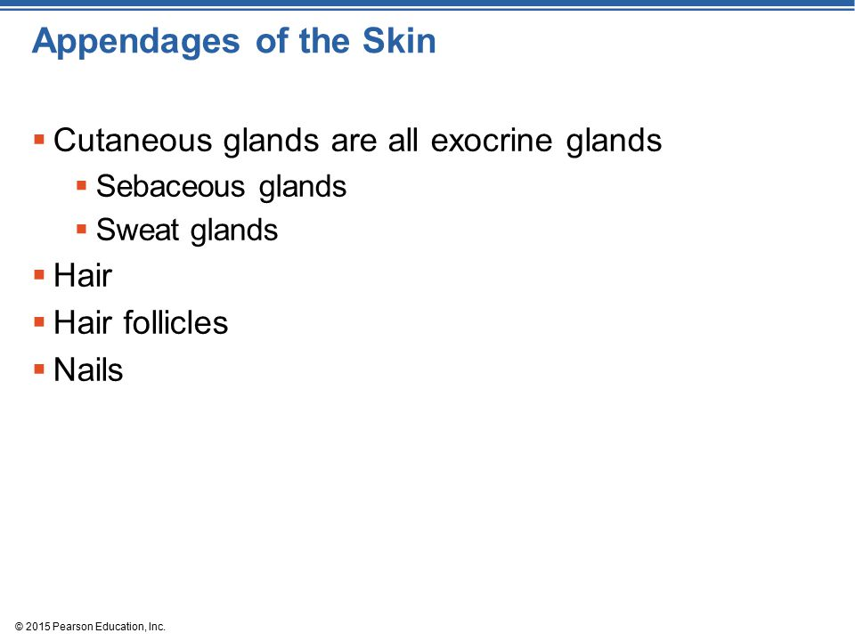 Appendages of the Skin Cutaneous glands are all exocrine glands Hair