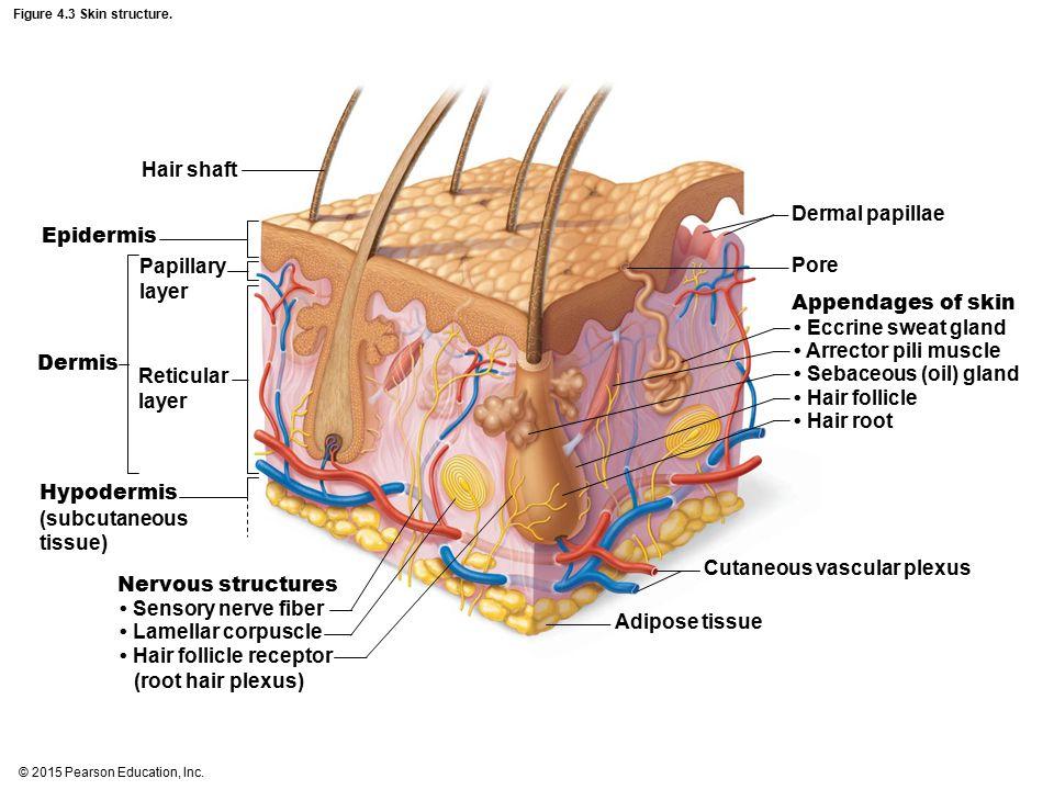 • Sebaceous (oil) gland • Hair follicle • Hair root