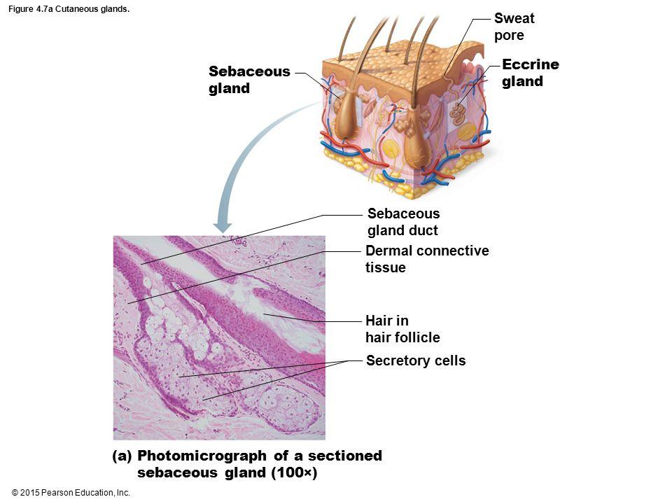 Figure 4.7a Cutaneous glands.
